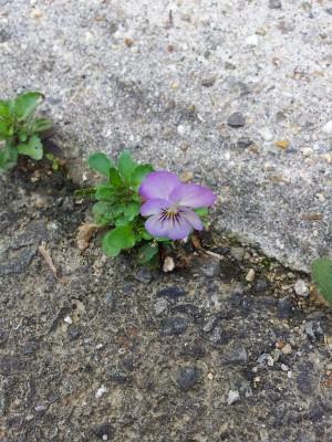 コンクリの隙間に咲いたスミレ