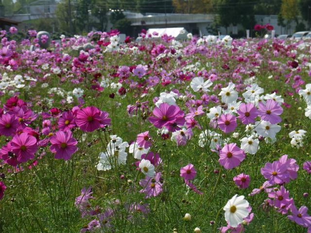 京都亀岡「夢コスモス園」ナビへの住所は?見頃の今訪れてきました!